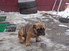 puppies English bulldog